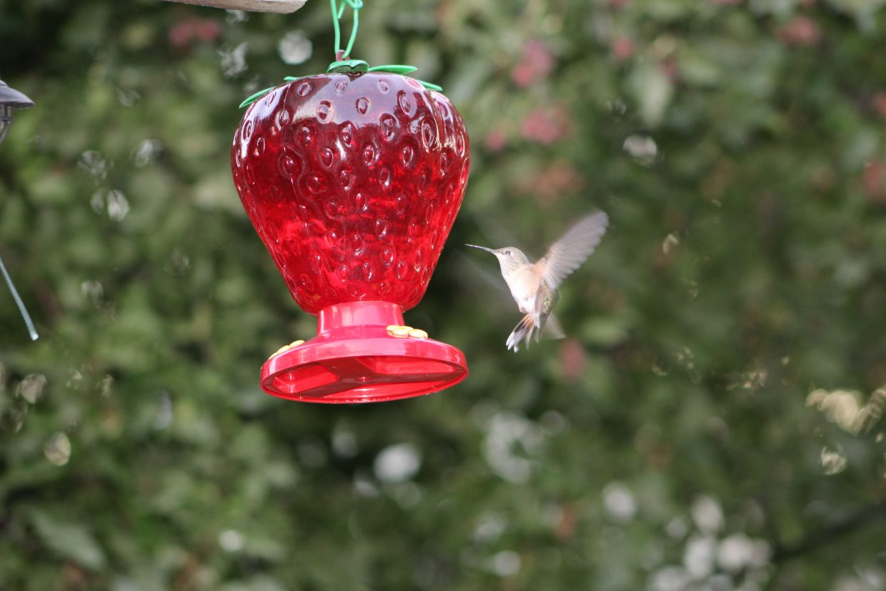A hummingbird visits a feeder in Hayden.