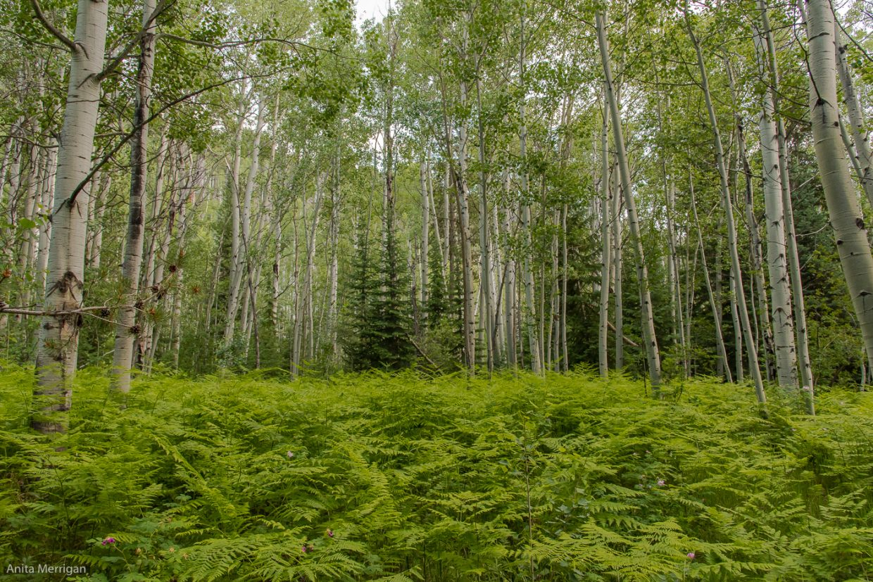 Fern and aspen forest in Routt County.