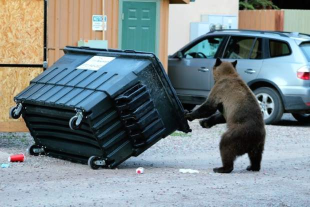 The adage that garbage kills wildlife can be misleading. It's not so much the content of the garbage that hurts the bear as the fact that it's losing its natural fear of humans.