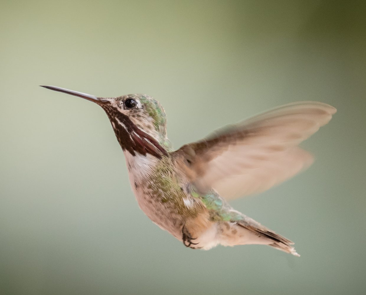 A hummingbird captured in mid flight.