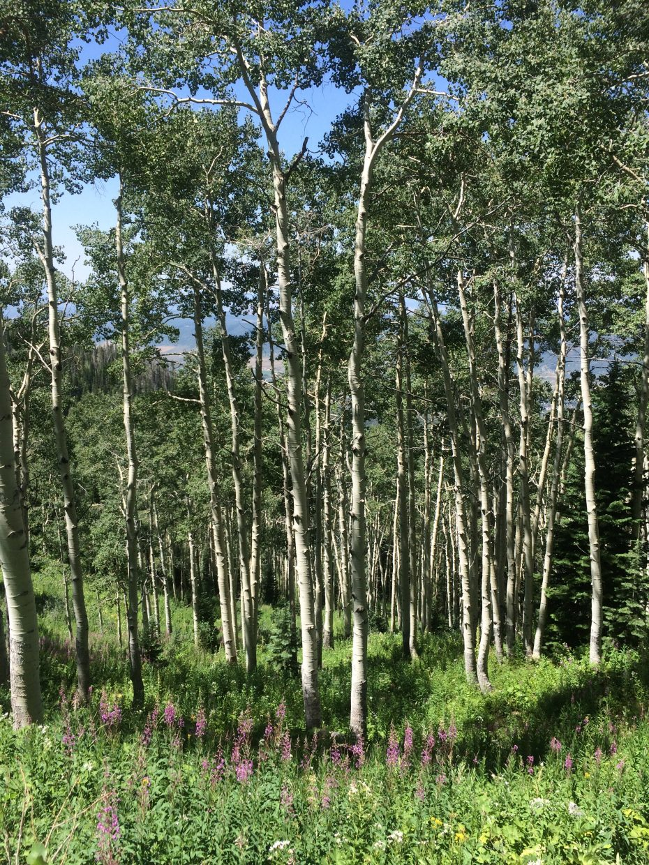 Aspen trees stand tall in green grass before the haze set in.