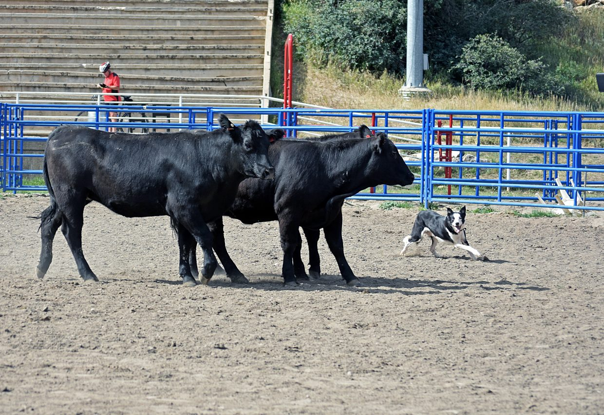 Cattle Dogs Fetch High Scores At Routt County Cattlemen S