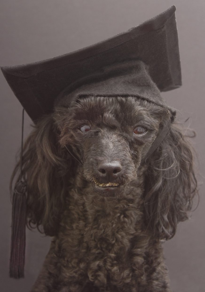 Kevin the poodle wears a graduation cap after completing dog training courses.