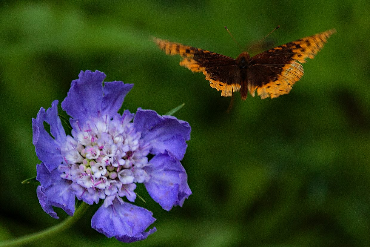 Blue flower attracts orange butterfly in the Yampa River Botanic Gardens.