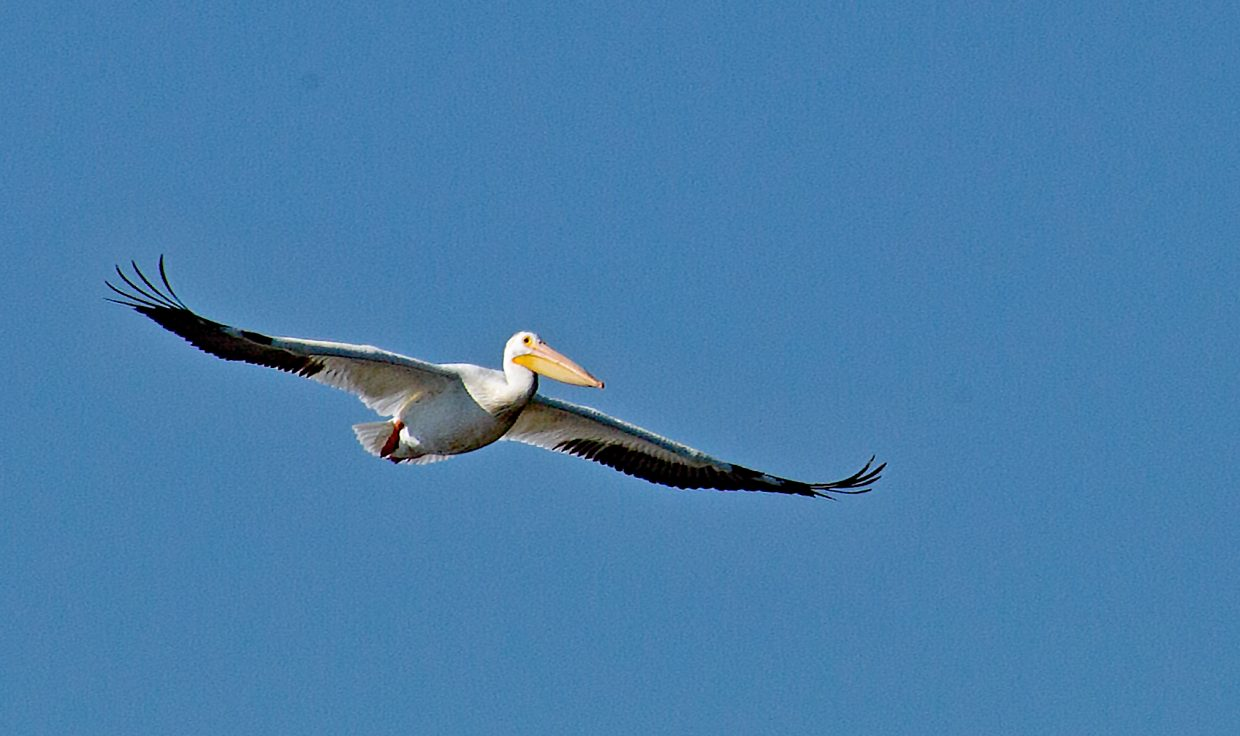 A white pelican arrives at Steamboat Lake.