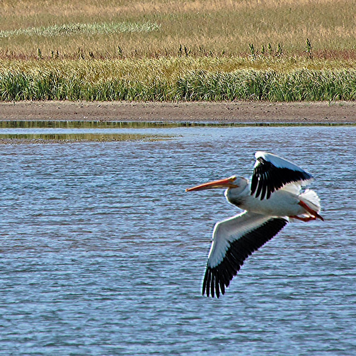A white pelican takes flight over Steamboat Lake.