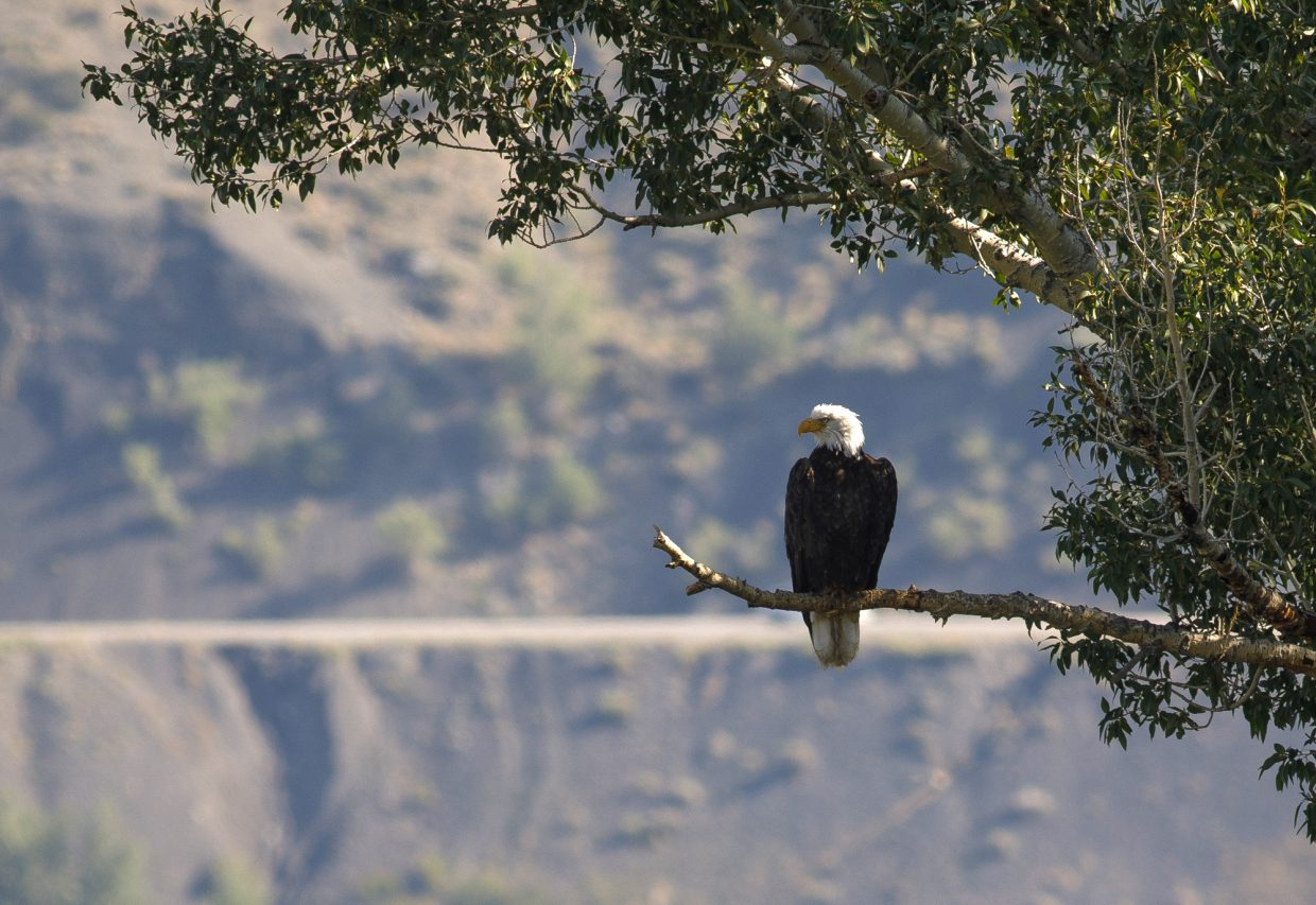 A bald eagle sits on a tree at the Knorr Lakeside Ranch next to Green Mountain Reservoir on Aug. 15 near Heeney.