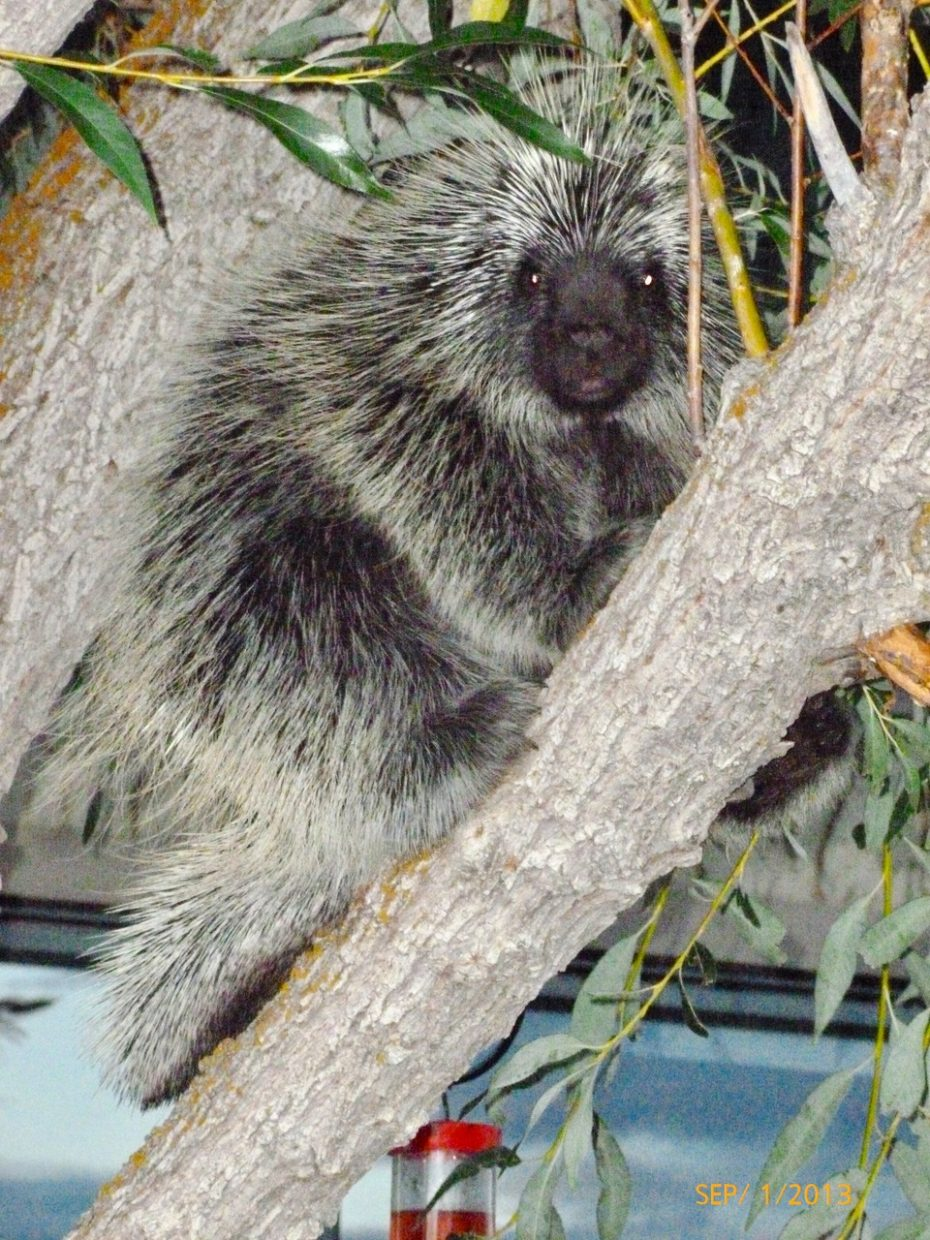 Porcupine visiting by Louise Brainard