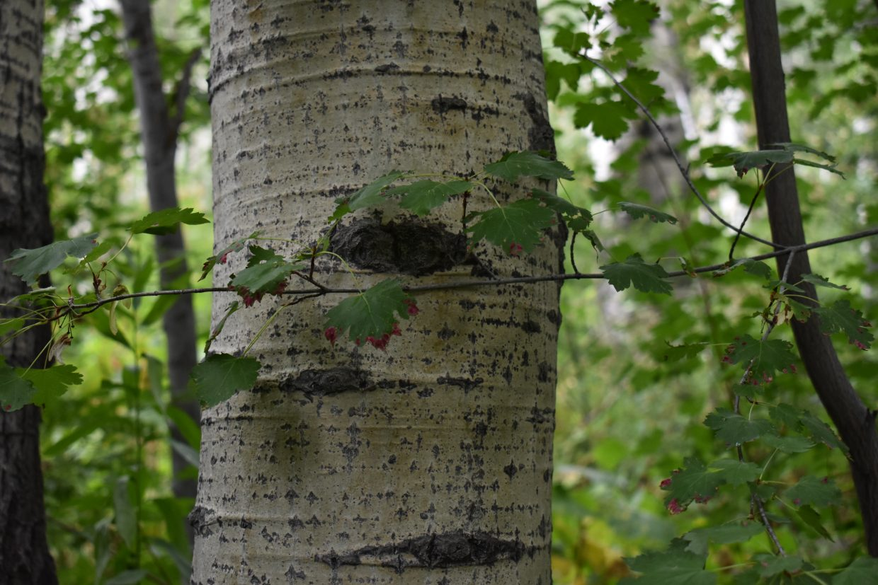 A Colorado Acer Labrum (also known as a Mountain Maple) grows in an aspen grove on the Uranium Mine trail.