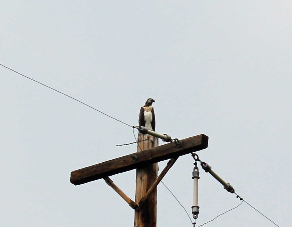 Young osprey not quite self-sufficient.