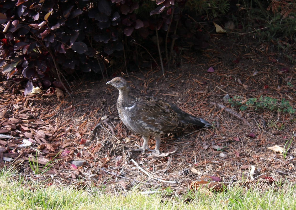 Female dusky grouse. Blue color on the tail feathers.