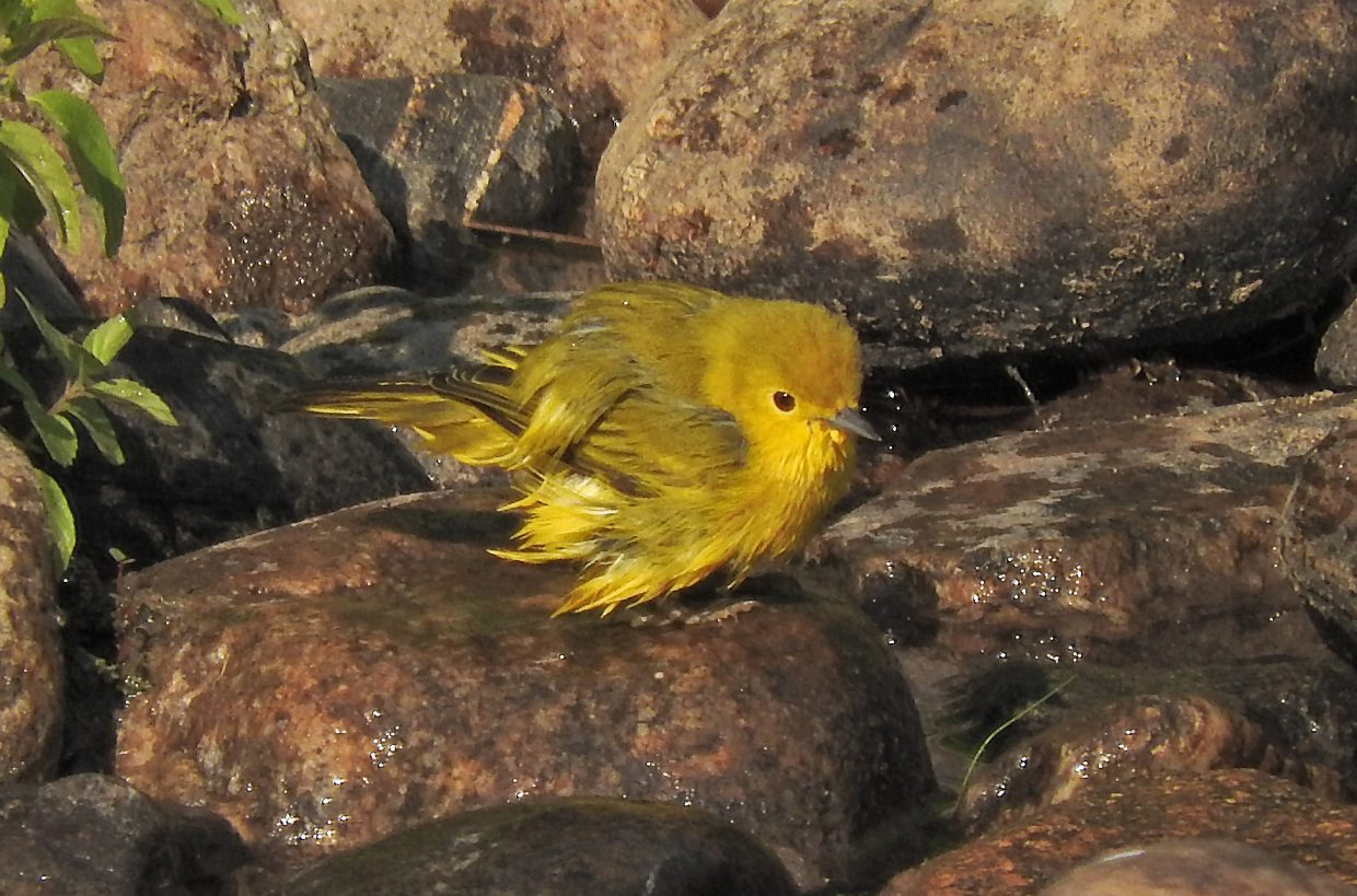 Yellow Warbler enjoys a morning bath along the Core Trail