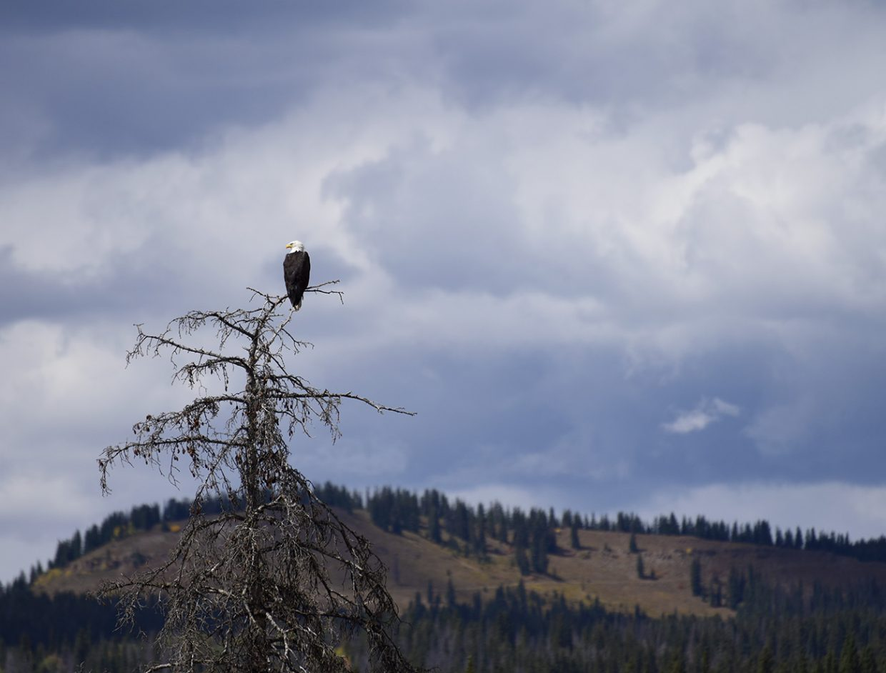 A bald eagle perches on a tree near Hahns Peak Lake.