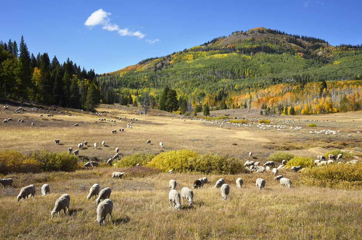 Sheep graze along Rabbit Ears Pass.