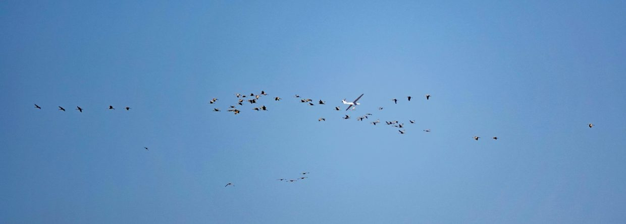 A flock of about 60 Sandhill Cranes fly south over Emerald Mountain.