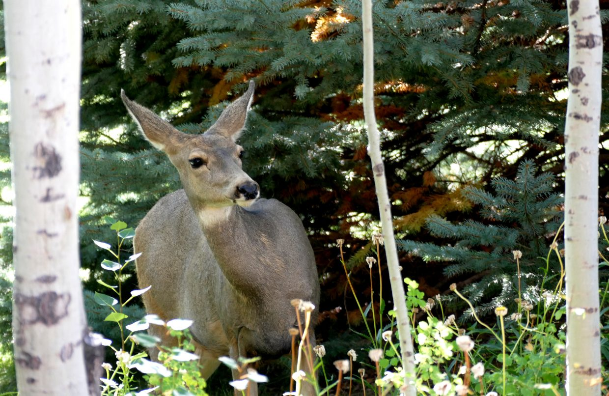 hree deer are in the yard, here in Steamboat Springs. They are eating the crabapples.