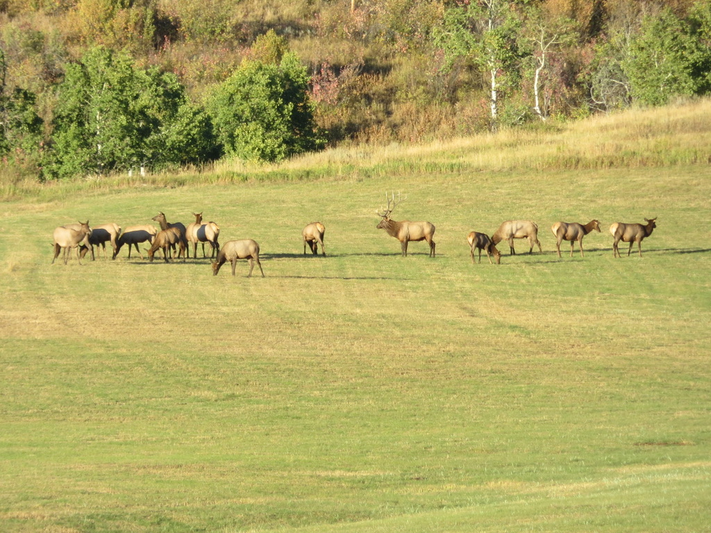Elk coming down for their daily evening meal on a field across from our home on Amethyst Drive, Steamboat Springs.