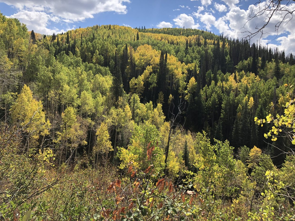 Gold covers the edges of the Flash of Gold trail on Buffalo Pass.
