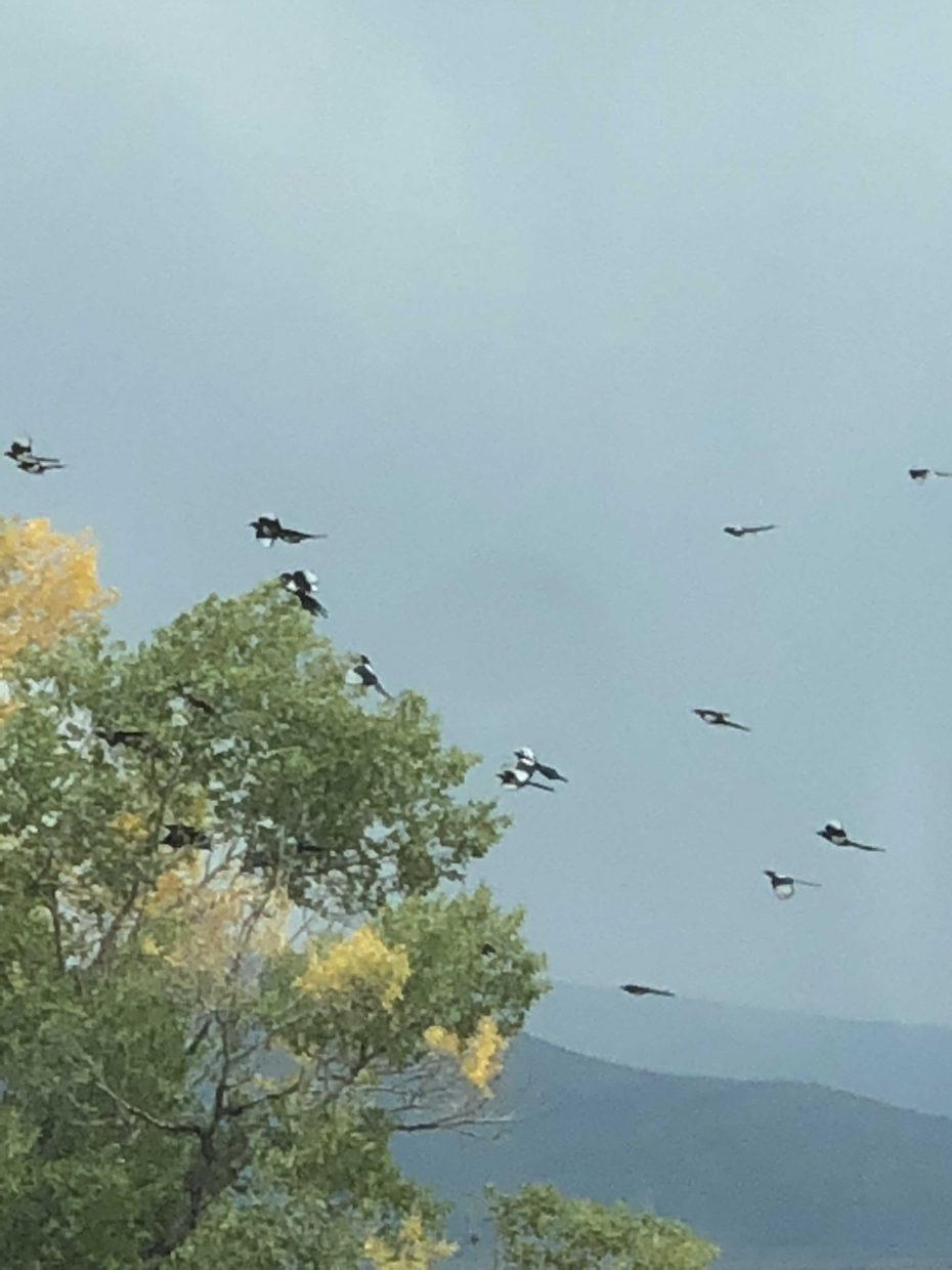 A battalion of magpies rush to a tree.