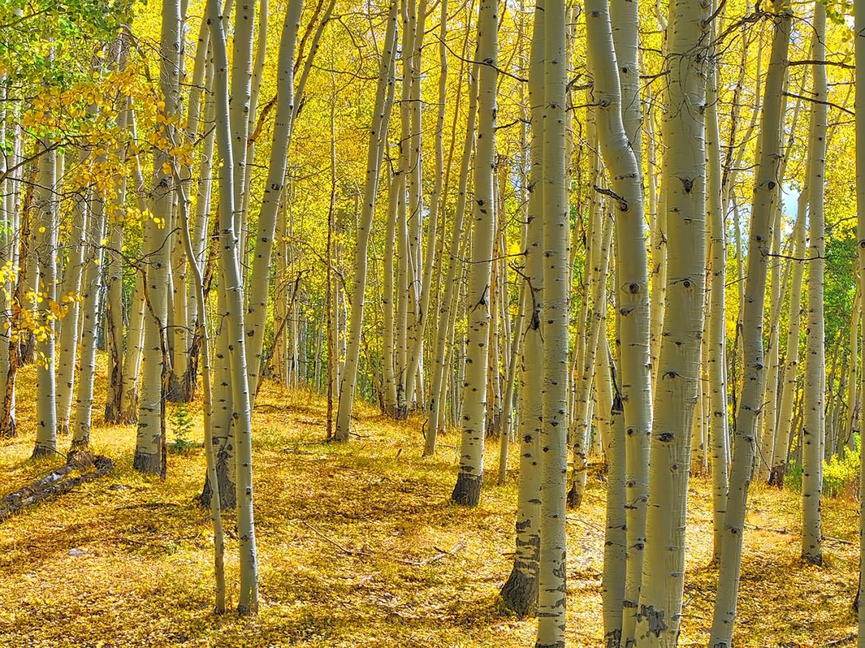 Aspens in the Flat Tops Wilderness Area.