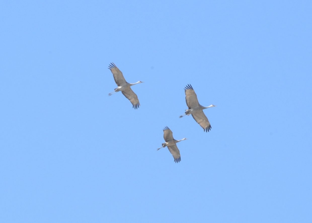 Sandhill Cranes flying over Hayden on Saturday.