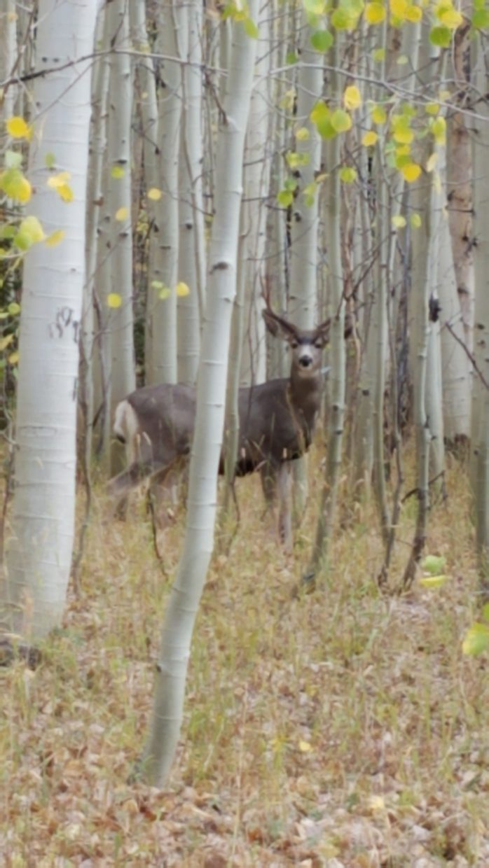 Deer on the 550 Road in North Routt.