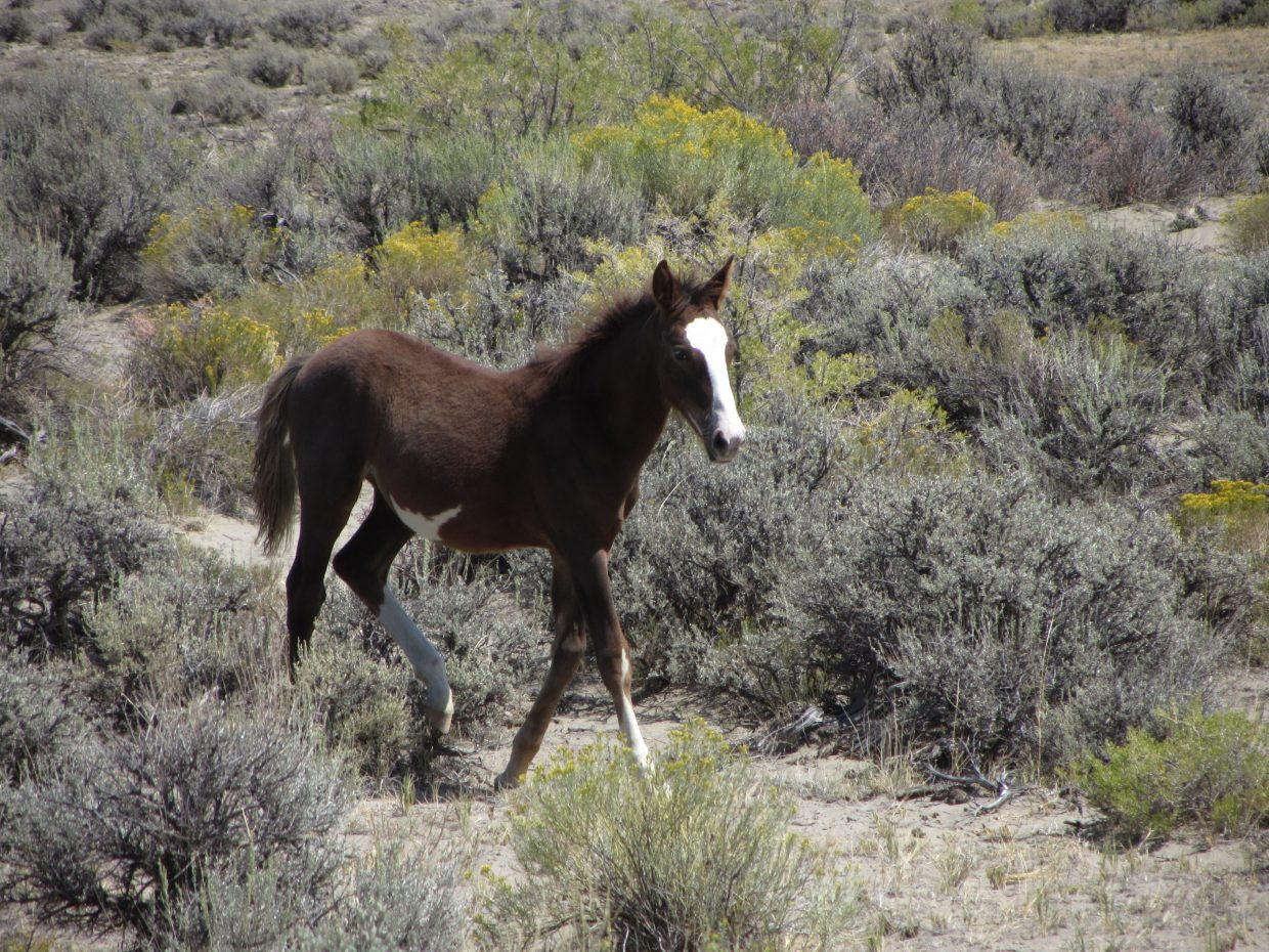 A wild foal frolics near the Sand Wash Basin.