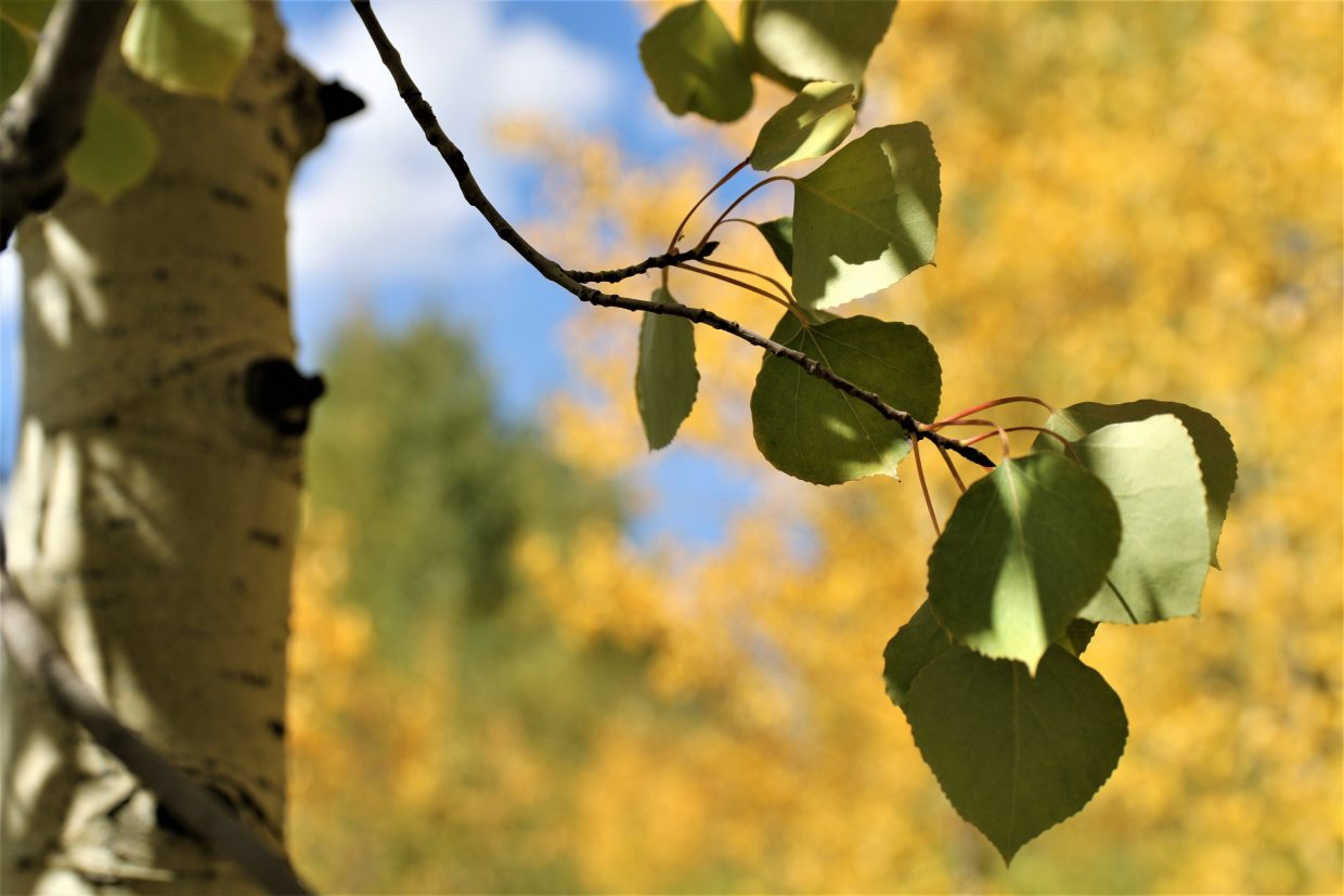 An aspen tree holds onto its green leaves as the trees behind it go gold.