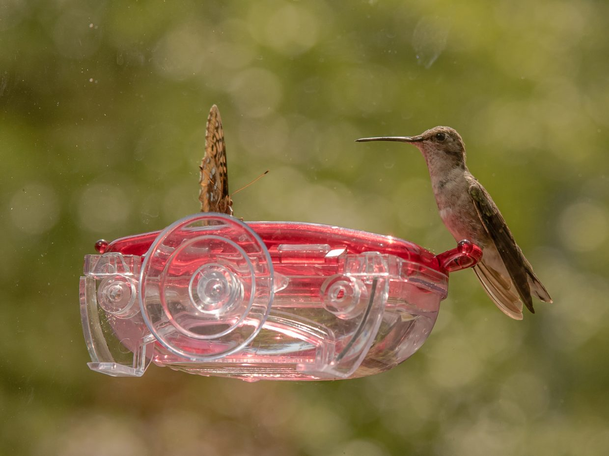 A hummingbird shares its snack with a butterfly.