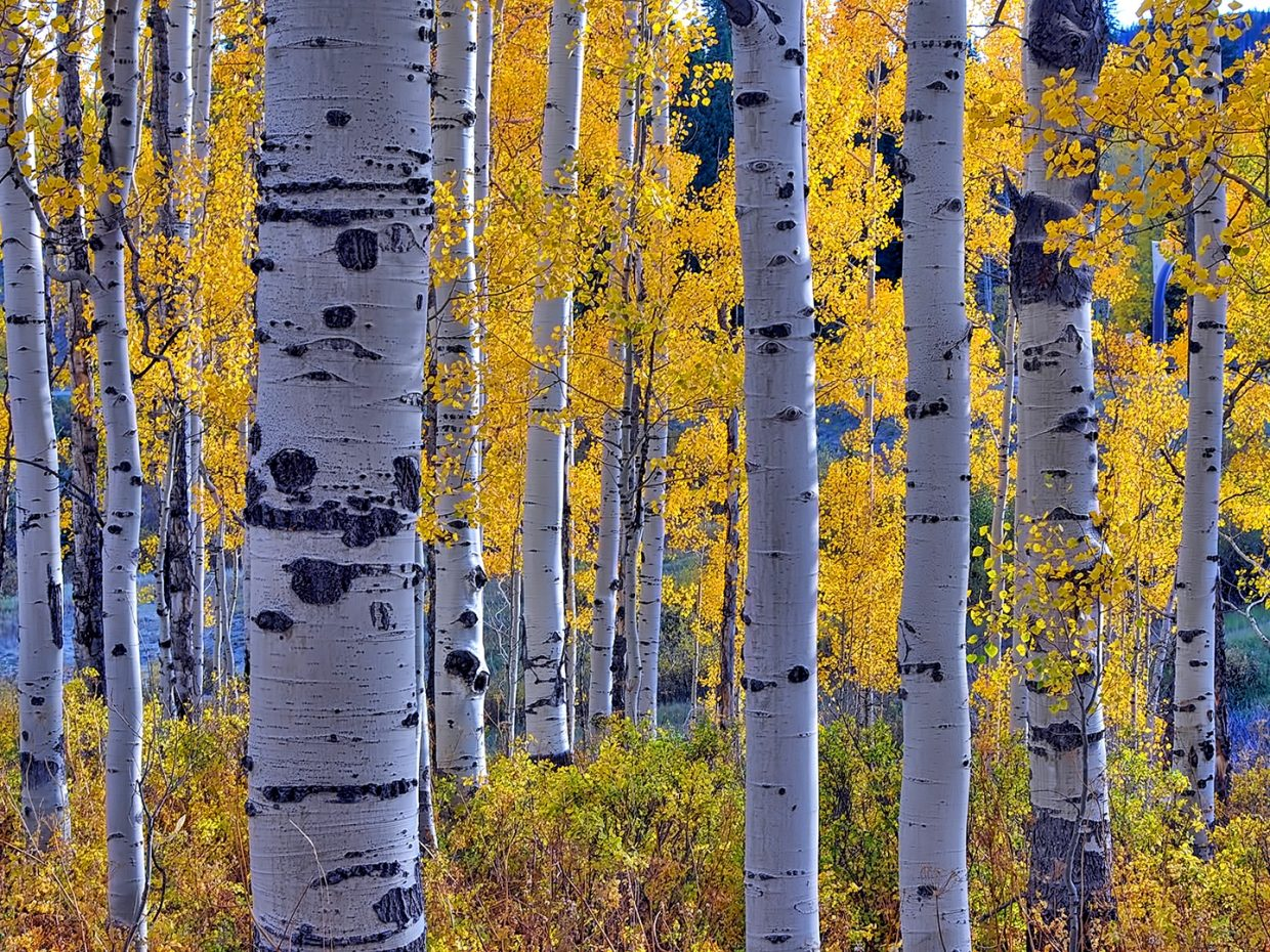 Aspens begin to turn gold on Rabbit Ears Pass.