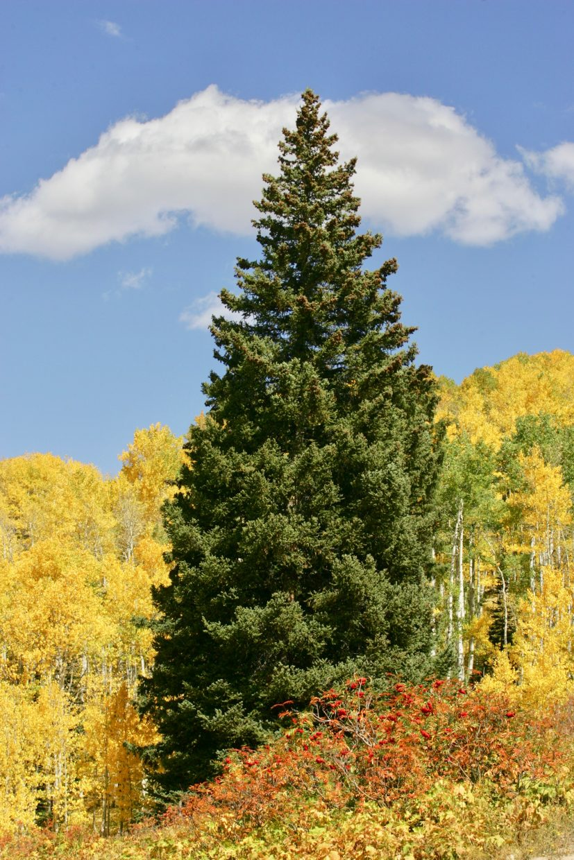 A lone evergreen stands out as fall overtakes the others around it.