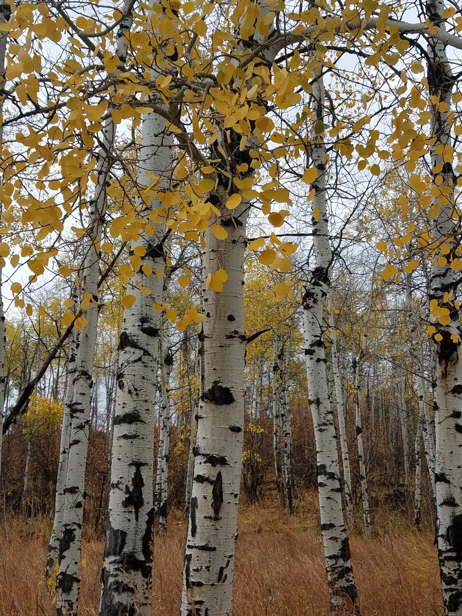 Golden leaves still cling to aspens in South Routt County.