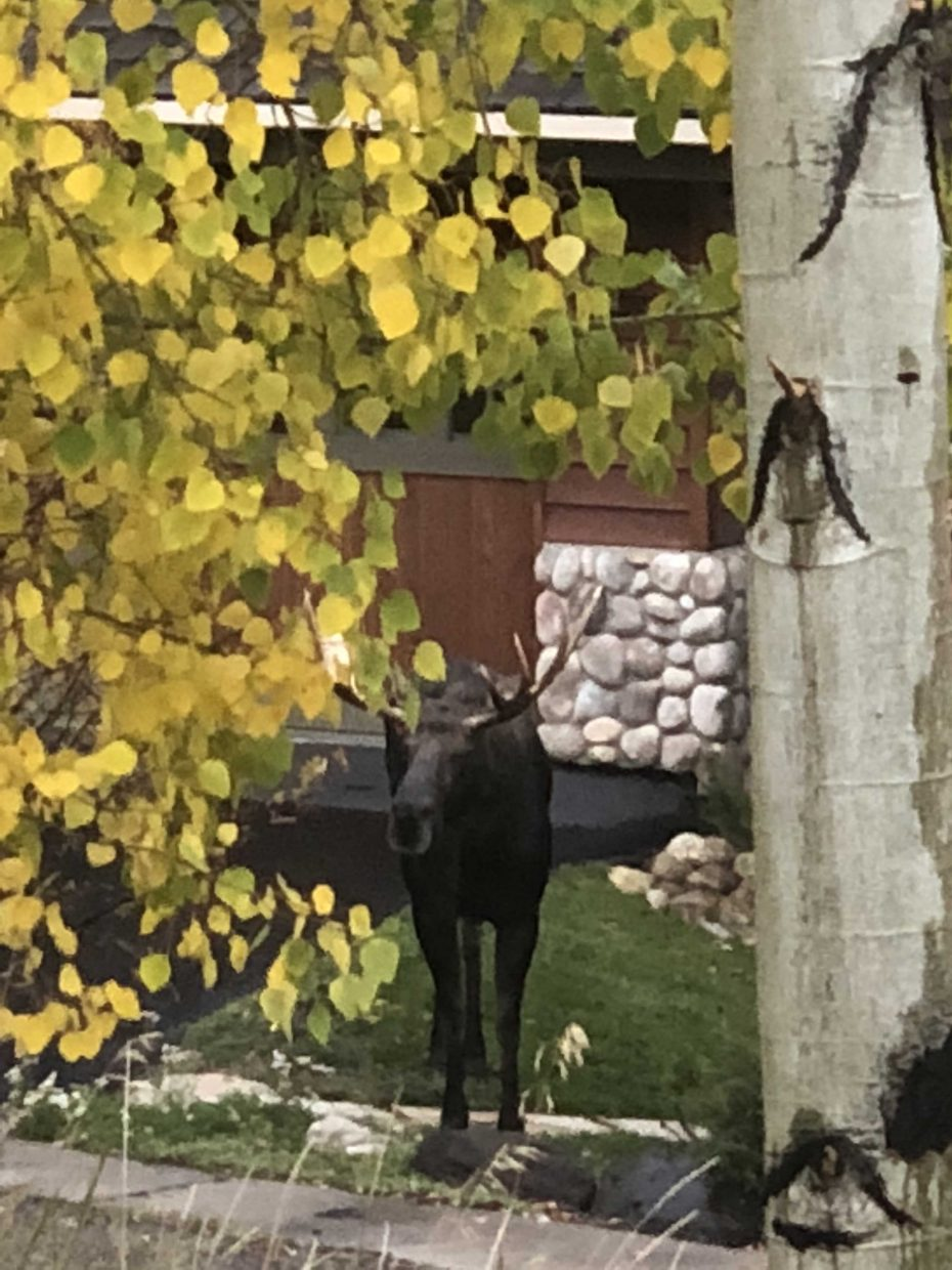 A bull moose roams around Natches Way.