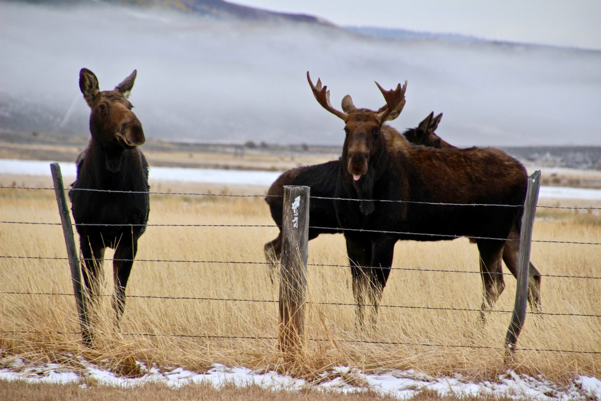 Moose in Routt County
