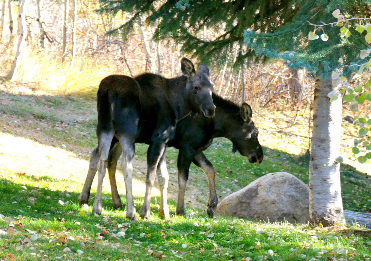 These two moose were enjoying the fall day along Steamboat Blvd. in Steamboat Springs today.