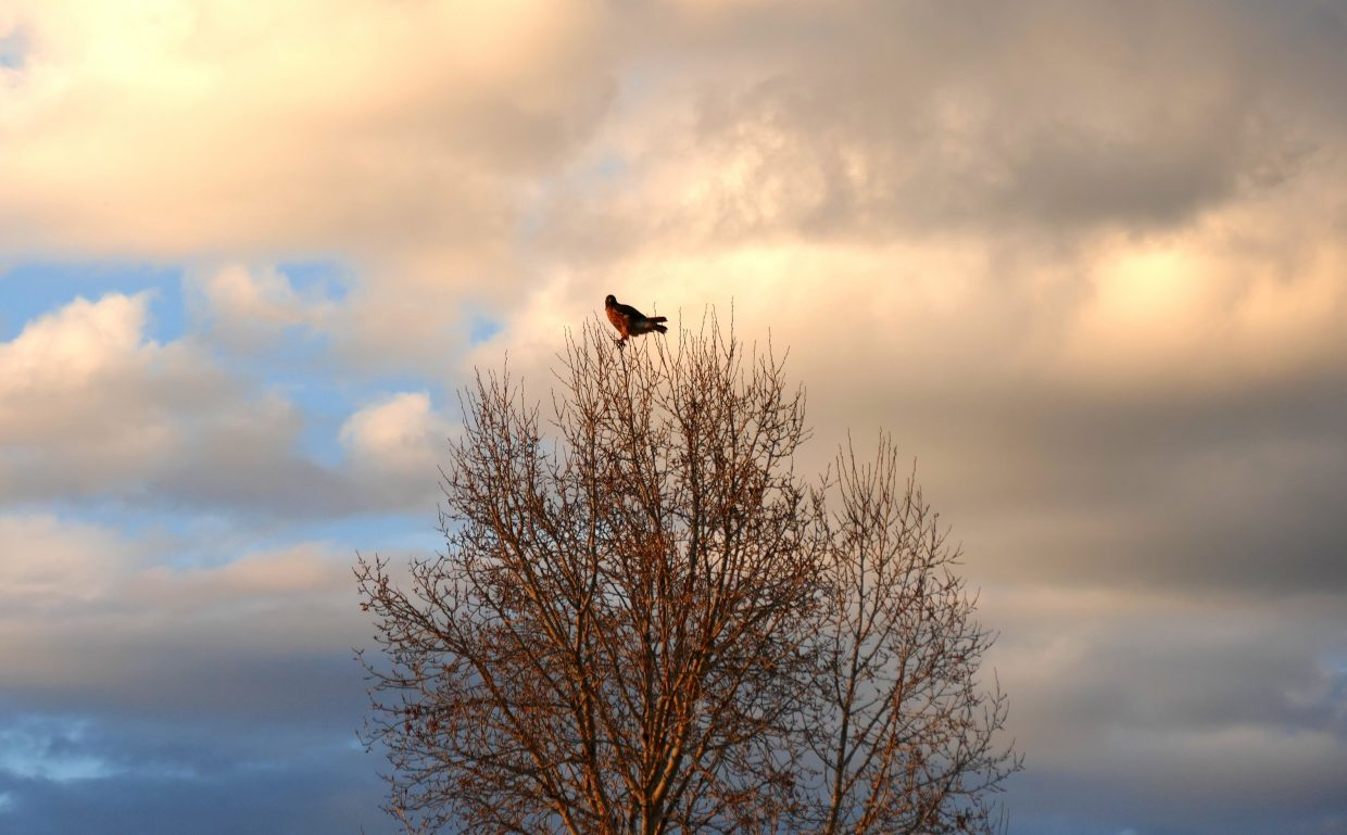 I saw this hawk perched at the top of a tree near the base of Rabbit Ears Pass this evening, off of Routt County Road 20, just outside of Steamboat Springs.