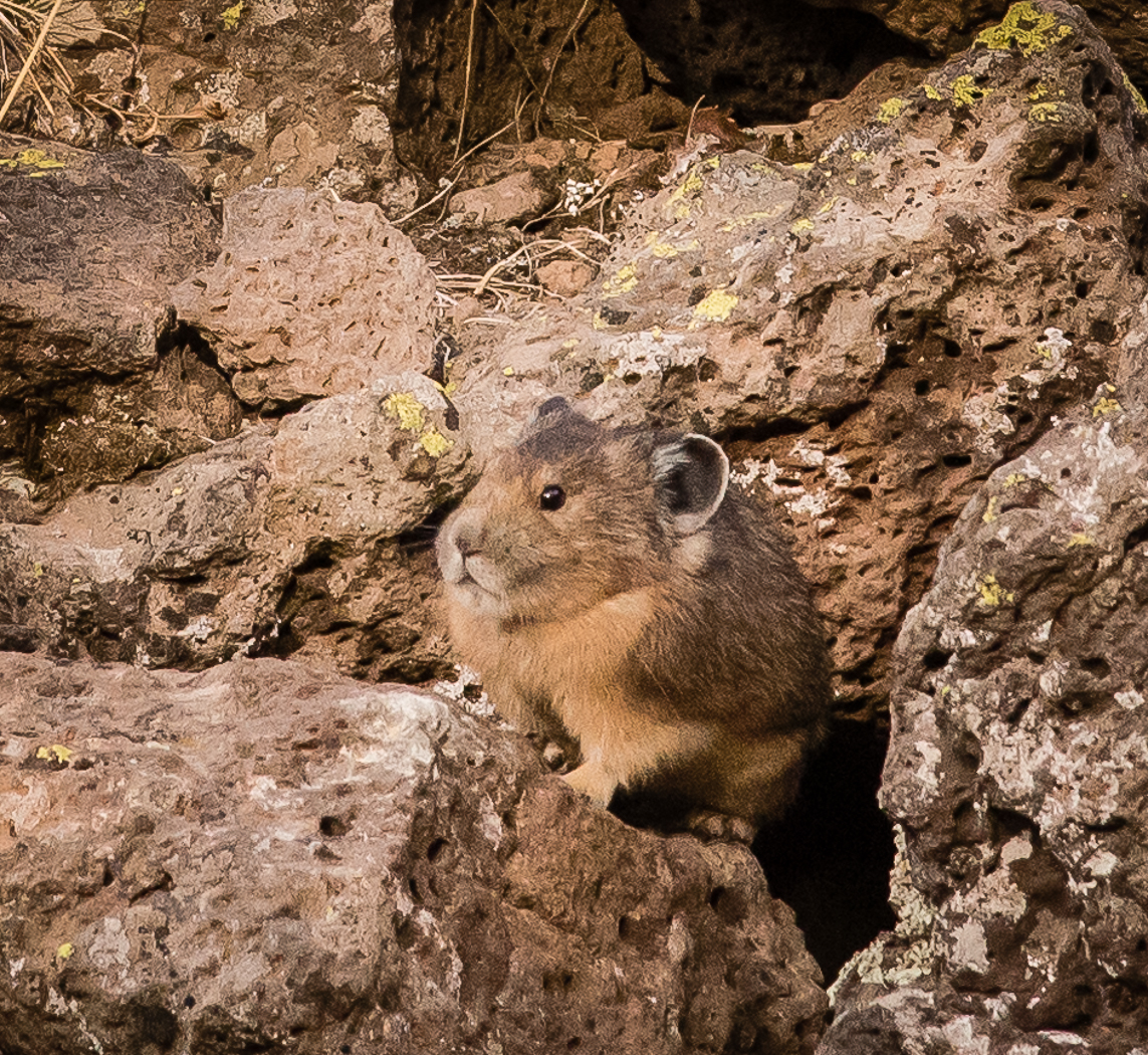 A pika shows itself in the Flat Tops Wilderness Area.
