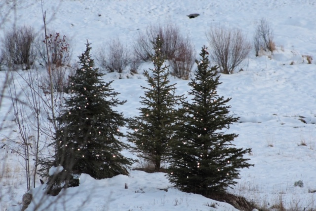 Three Christmas trees sit in the snow.