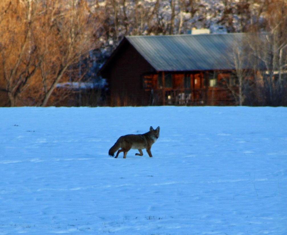 A coyote trots through the snow.
