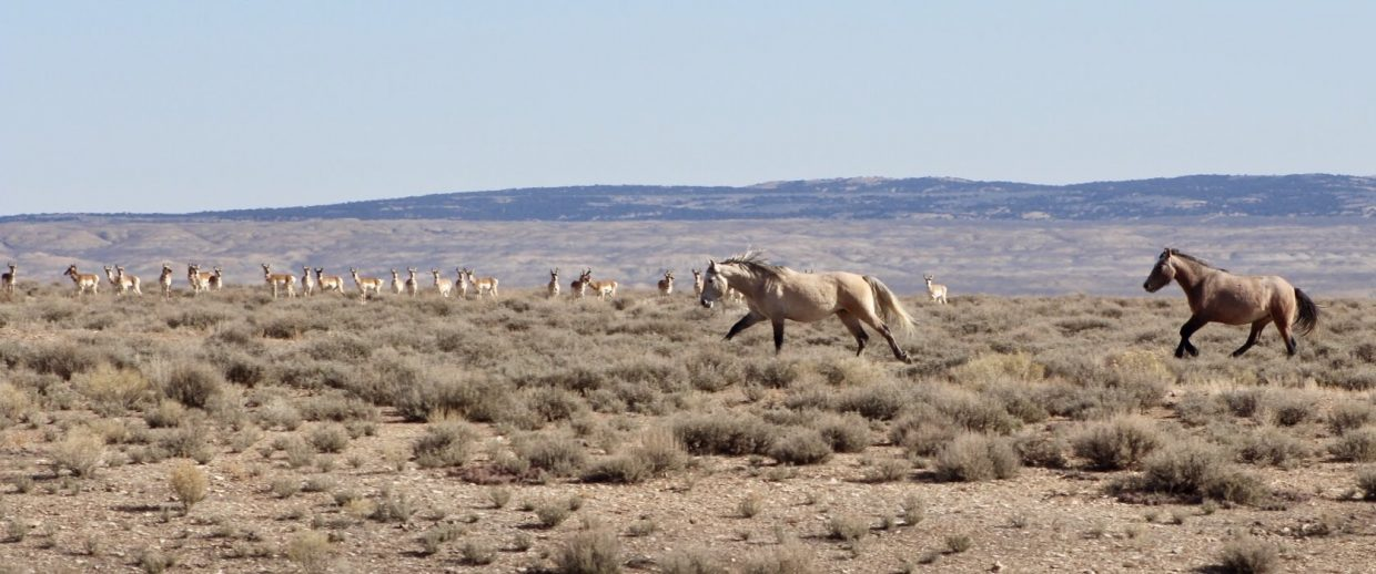 Wild horses and pronghorn