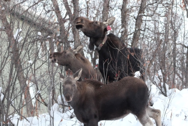 Steamboat Moose mom and babies