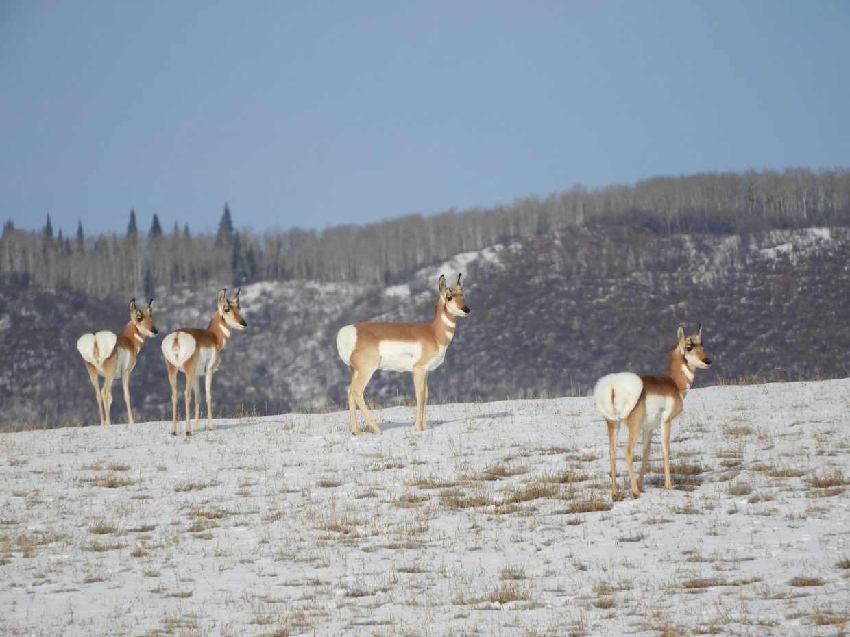 Antelope play on a hill toward the west side of Steamboat Springs.