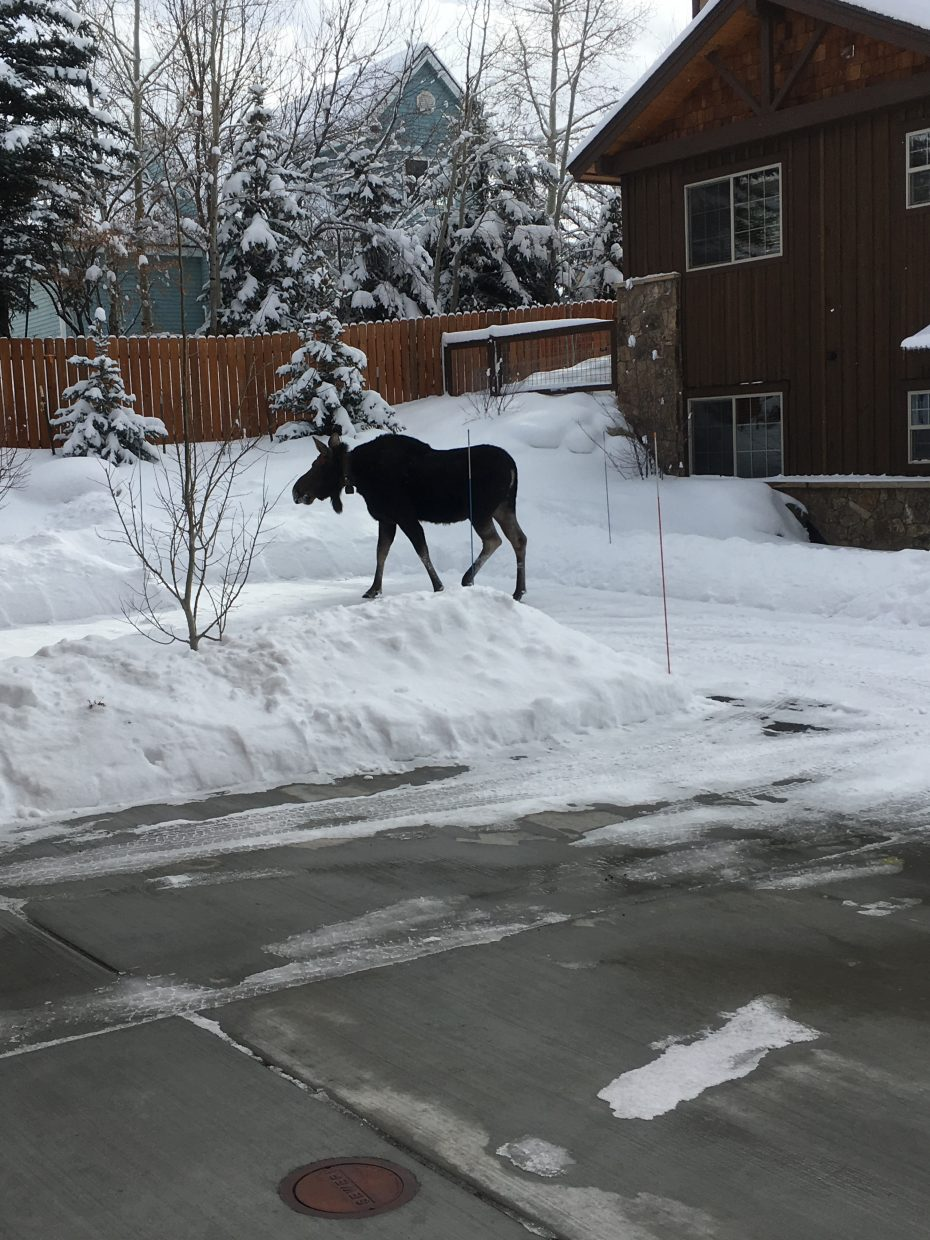 Moose visit Rocky Peak Village in Steamboat Springs.
