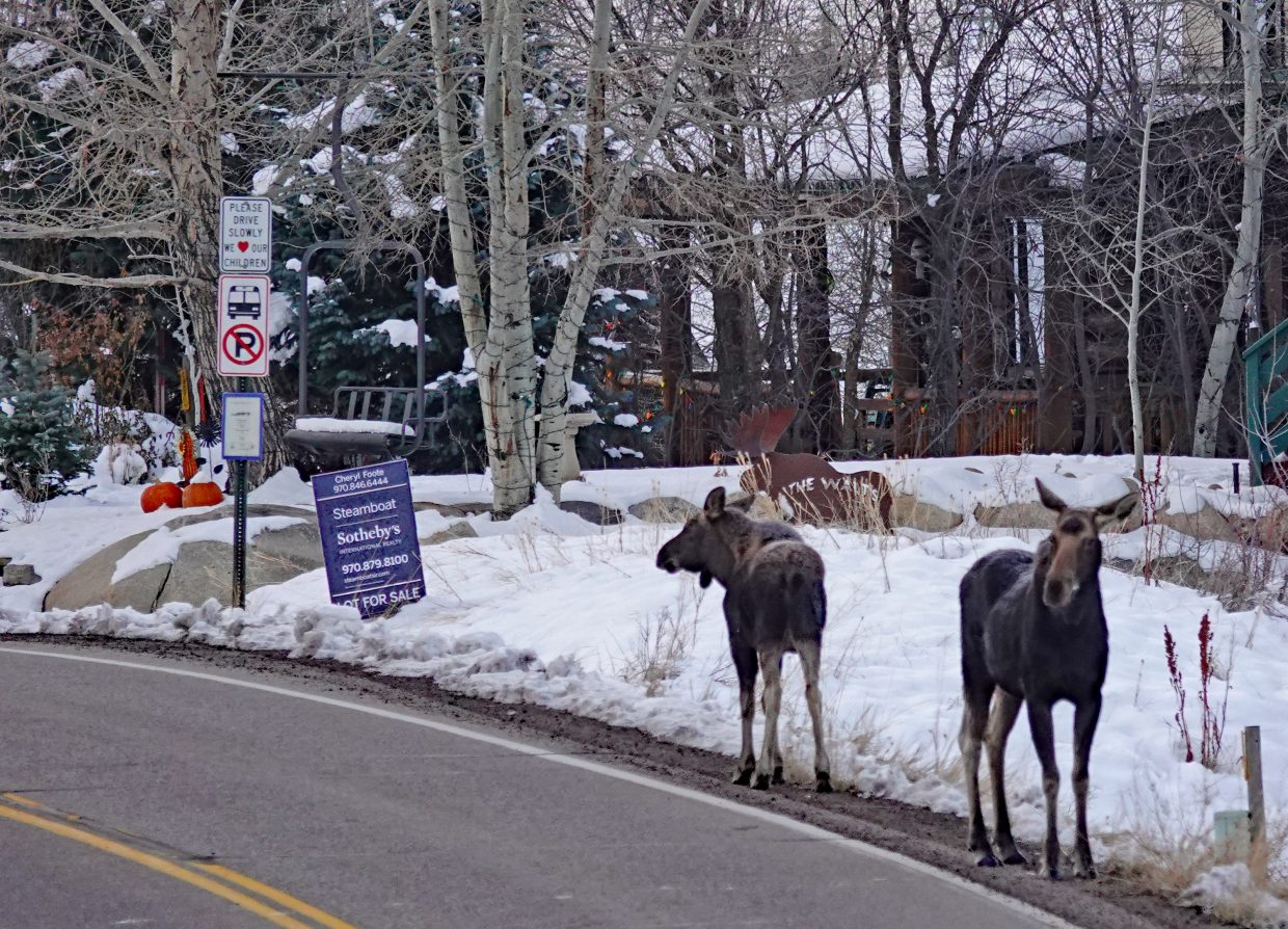 Two moose take stroll on Hilltop Parkway in Steamboat Springs.
