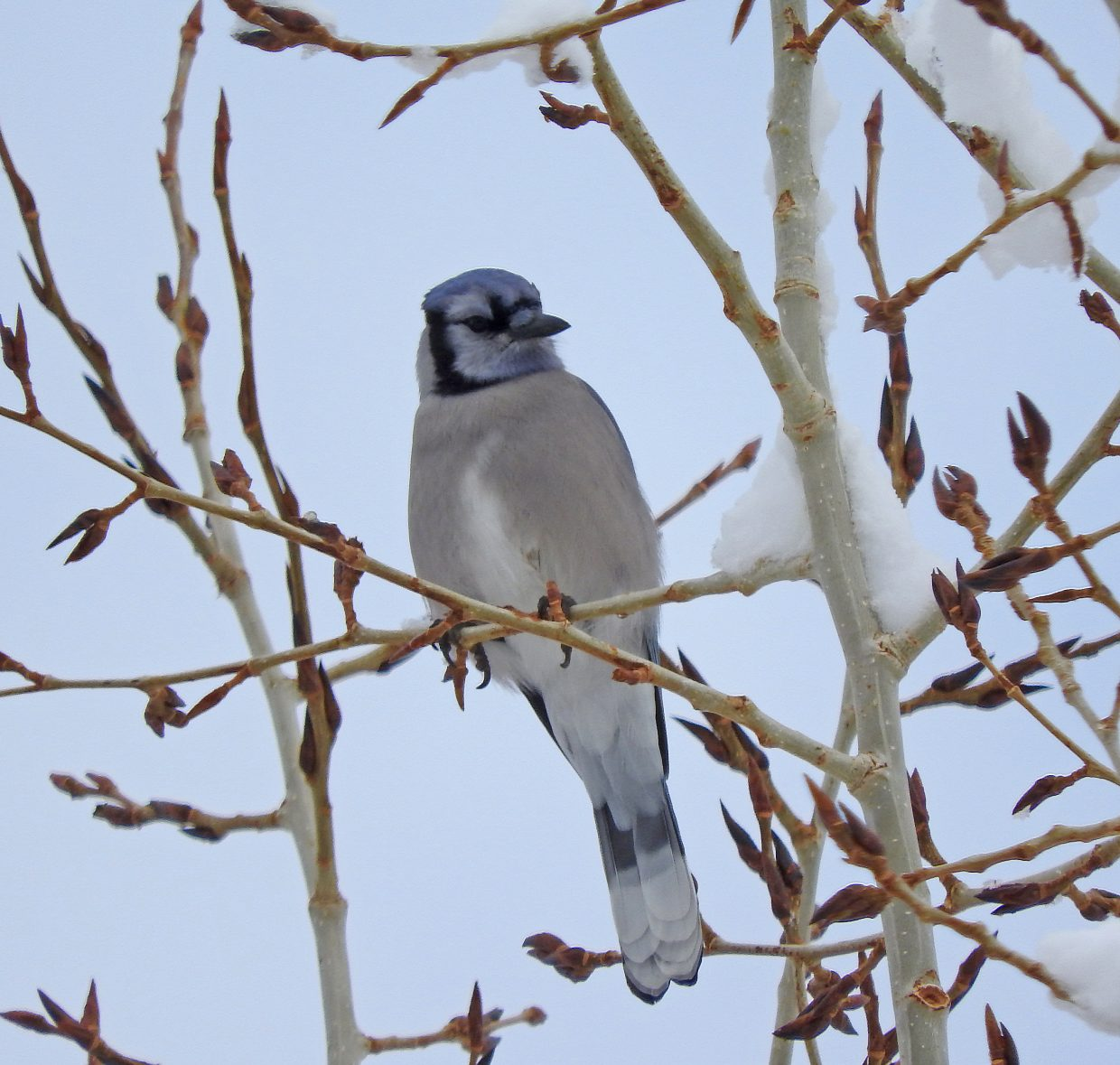 This Eastern Blue Jay has been hanging around Steamboat for a couple of months.  Keep a watch out for him at your feeders!  He's rare here in the mountains.