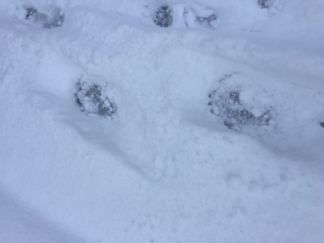Bear tracks are visible in the snow, showing the animals have not gone into hibernation just yet.