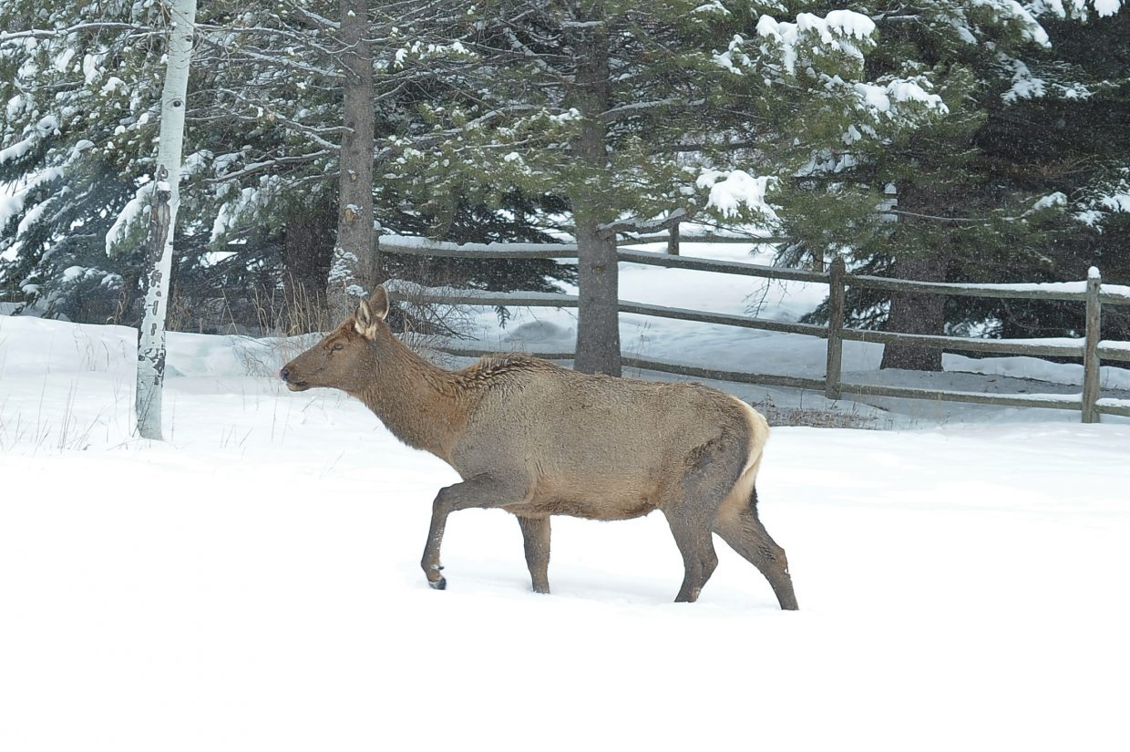 Cow elk that walked through our backyard this afternoon, in light snow.