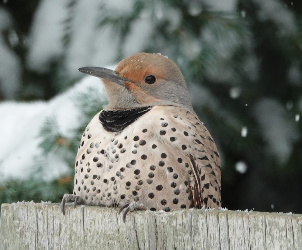 Northern Flicker waits her turn at our feeder on a snowy Christmas Eve.