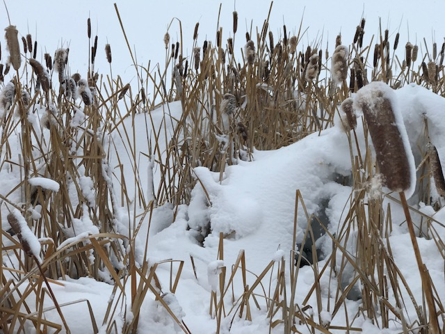 Snowy cattails at Lake Catamount