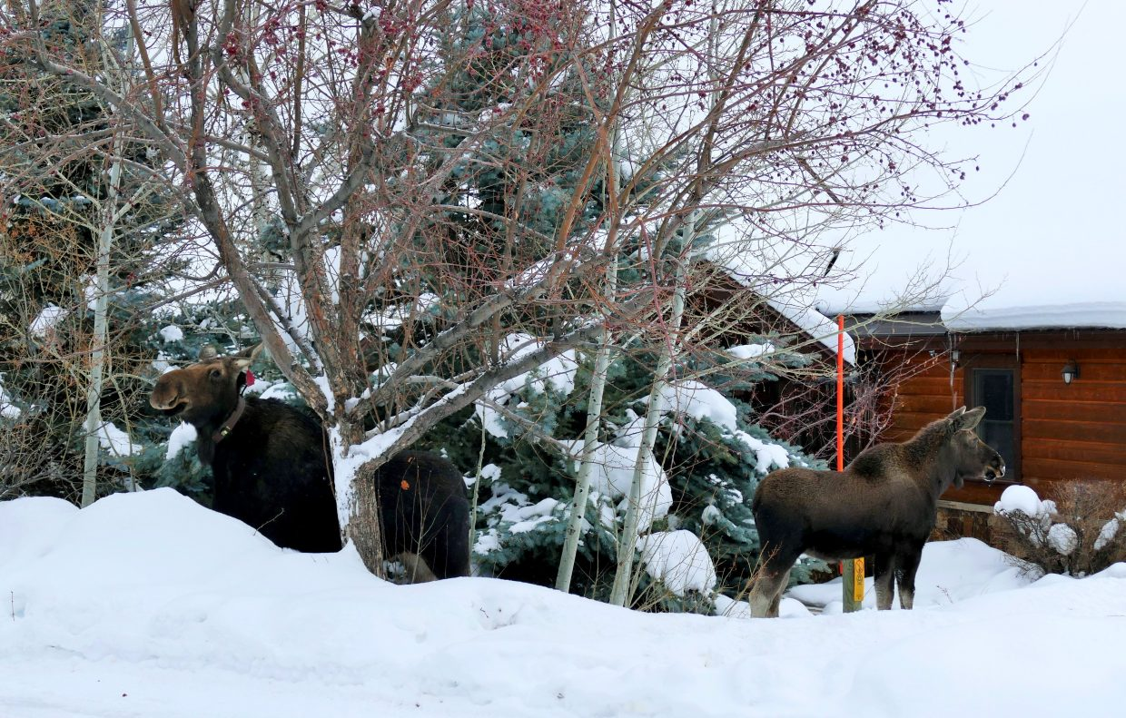 Merry Christmoose! Mama Moose and the twins just swung by for some crabapple snacks in our yard, here in Steamboat.